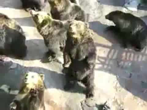 Bears Begging for Food